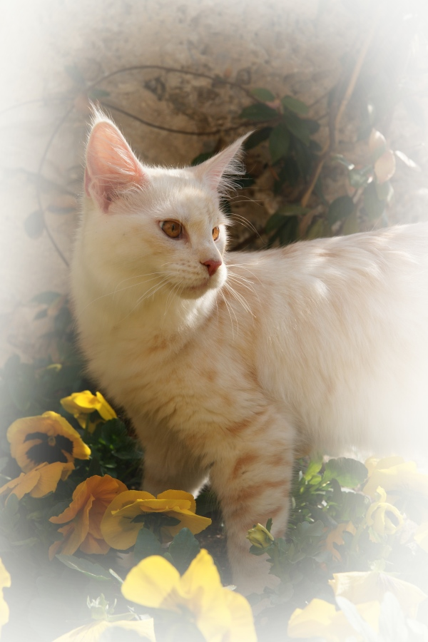 sabbia maine coon silver red