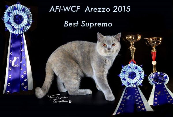 VIVECA BRITISH SHORTHAIR